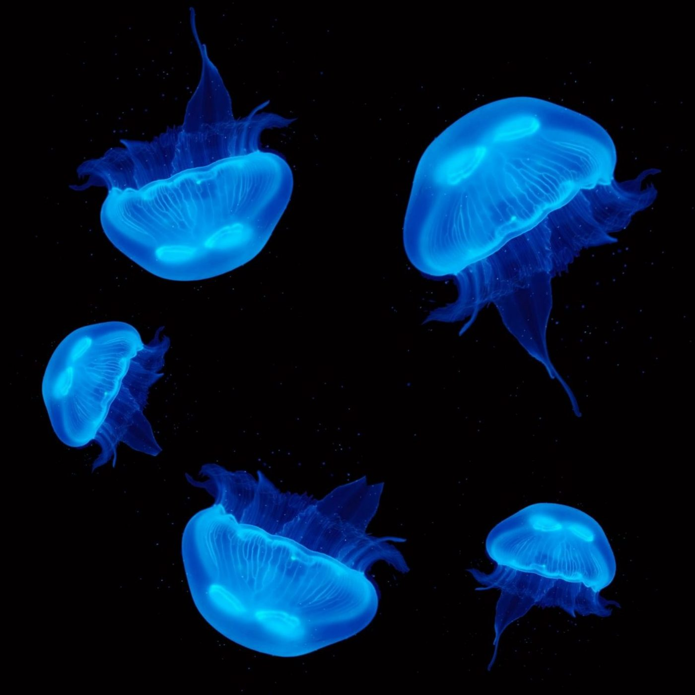 5 Pet Moon Jellyfish