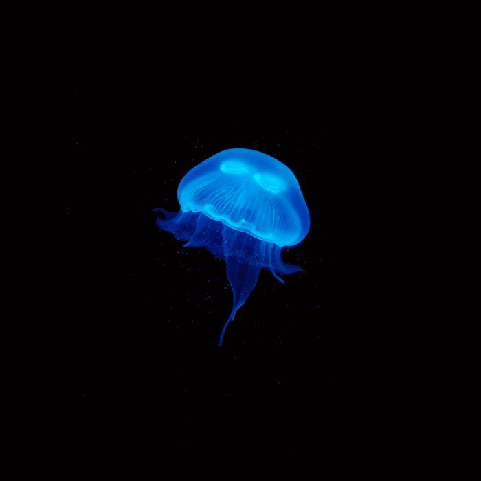 Small Moon Jellyfish